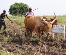 Lancement de travaux de labour de champs écoles paysans pour la saison agricole A